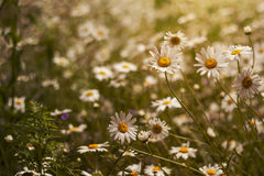 Wild marguerites. Wild flowers growing in sprigtime Royalty Free Stock Images