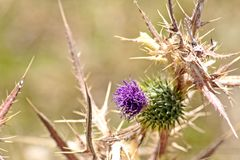 Wild Marian thistle flower royalty free stock image