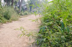 Wild marijuana plants. Growing on a village street, Nepal Stock Photos