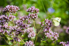 Wild marjoram blossoms in garden and butterfly. Summer wild marjoram blossoms in garden and butterfly Royalty Free Stock Image