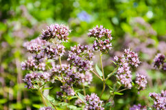 Wild marjoram blossoms in summer garden Stock Images
