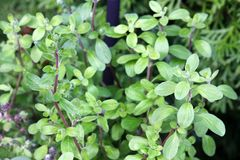 Wild marjoram in the garden Stock Photos