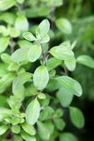 Wild marjoram in the garden Royalty Free Stock Photography