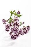 Wild Marjoram (Origanum vulgare) Stock Image