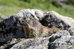 Wild marmot Royalty Free Stock Photos