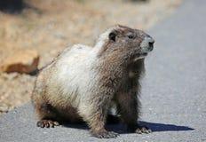 wild marmot Arkivbild