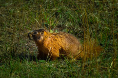 Wild Marmot Royalty Free Stock Photo
