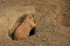 Wild marmot on guard Royalty Free Stock Photos
