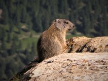 Wild marmot keeping a lookout on a rock in Switzerland. Alert wild marmot keeping guard on a large rock in Switzerland royalty free stock images
