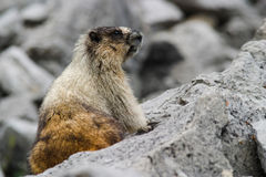 Wild marmot on rocks Stock Images