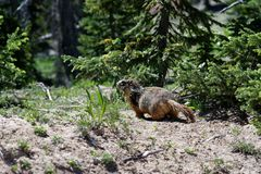 Wild Marmot stock photos