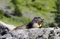 wild marmotte Arkivfoto