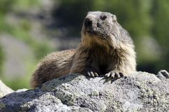 Wild marmotte Stock Photography