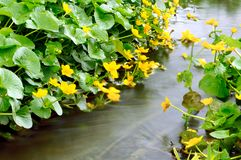 Yellow spring flowers. On a bank of a stream royalty free stock photography