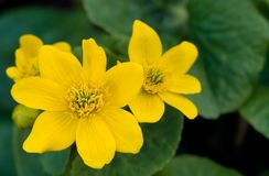 Wild Marsh Marigold flowers in the Spring. Wild Marsh Marigold (Caltha palustris) flowers in the Spring Royalty Free Stock Images
