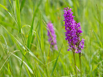 Wild marsh orchids Stock Images