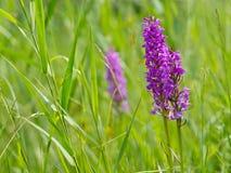 Wild marsh orchids. Between grass in dutch marshland Stock Images