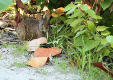 Wild marsh rabbit chewing on a blade of grass on Estero Island in Fort Myers Beach, Florida Royalty Free Stock Images