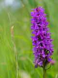 Wild marshorchid close up. Wild marsh orchid close up in dutch nature reserve Stock Images