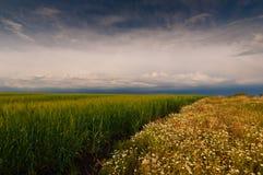 wild matricaria för chamomilechamomillafält Fotografering för Bildbyråer
