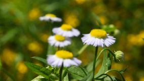 Wild meadow chamomile flowers over green