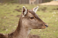 Wild meadow doe Royalty Free Stock Images