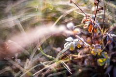 Wild meadow. Dry grass in morning dew, close-up macro nature detail of wild meadow Stock Photo