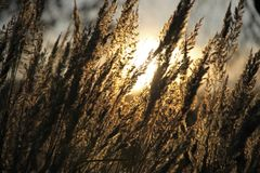 Wild meadow of dry herb grass on sunset. Soft sun rays Royalty Free Stock Photo