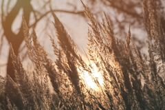 Wild meadow of dry herb grass on sunset. Soft sun rays, warm toning Stock Image