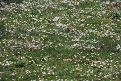 Flowering meadow. A wild meadow with flowering royalty free stock image