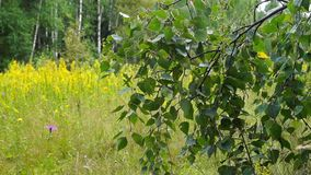 Wild meadow fowers and branches of birch-tree in summer. stock video footage