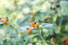 Wild meadow or garden flora close-up. Orange blossom dogrose in bush royalty free stock images