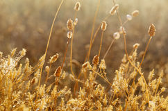 Wild meadow grass under morning sunlight. Autumn field with plenty small snails background. Sunny seasonal backdrop for Royalty Free Stock Image