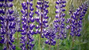 Wild meadow, Lupine stock footage
