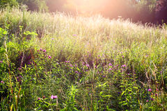 Wild meadow Royalty Free Stock Image