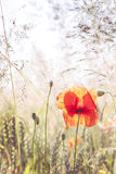 Wild meadow with poppy flowers, nature background. Stock Photos