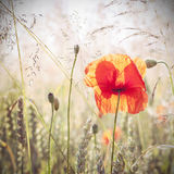 Wild meadow with poppy flowers, nature background. Royalty Free Stock Images