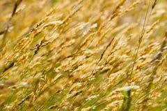 Wild meadow wheat grass Stock Image