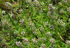 Herb thymus vulgaris. Wild medicinal herb thymus vulgaris known as common thyme Stock Photography