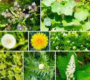 Wild and medicinal herbs. In the garden royalty free stock image
