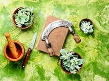 Euphorbia - an ancient means of folk medicine. Wild medicinal plant spurge, used in folk medicine stock photo