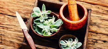 Euphorbia - an ancient means of folk medicine. Wild medicinal plant spurge, used in folk medicine royalty free stock images
