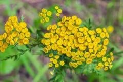 Wild medicinal plant tansy lat. Tanacetum vulgare. Flowering plant royalty free stock photo