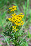 Wild medicinal plant tansy lat. Tanacetum vulgare. Flowering plant royalty free stock image