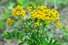 Wild medicinal plant tansy lat. Tanacetum vulgare. Flowering plant royalty free stock images
