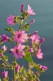 Wild Mediteranean flowers Royalty Free Stock Image