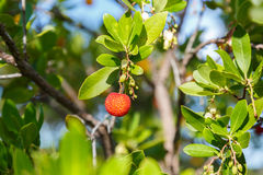 Wild medronho - arbutus- fruit in a tree. Typical fruit  use to do destilled fire water (hard liquor) a traditional drink from Algarve, Portugal, Europe Royalty Free Stock Image