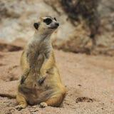 Wild meerkat Stock Image