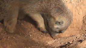 Wild meerkat instinct digging in dirt