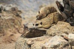 Wild meerkats Royalty Free Stock Image